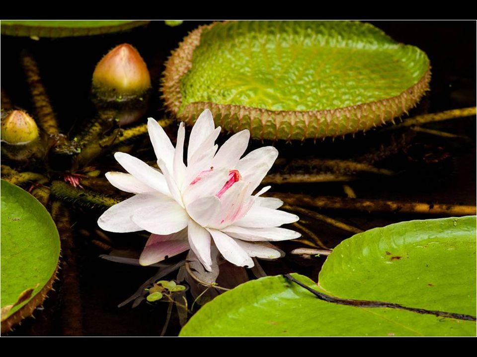 Su flor mide siempre más de 4 cm de diámetro (su floración ocurre desde inicio de marzo hasta julio) es blanca y se abre apenas anochece, a partir de