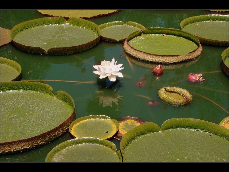 Cuando la flor es de color blanco y es femenina, sólo el estigma está maduro y puede recibir polen.