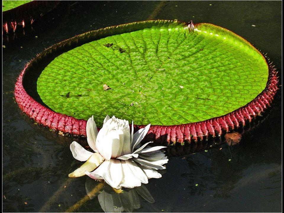 Los bordes perpendiculares de 10-20 cm, de color verde y reticulados por la cara superior, rojizos y con la nerviación dispuesta en espiral en la cara que se hallan en contacto con el agua.
