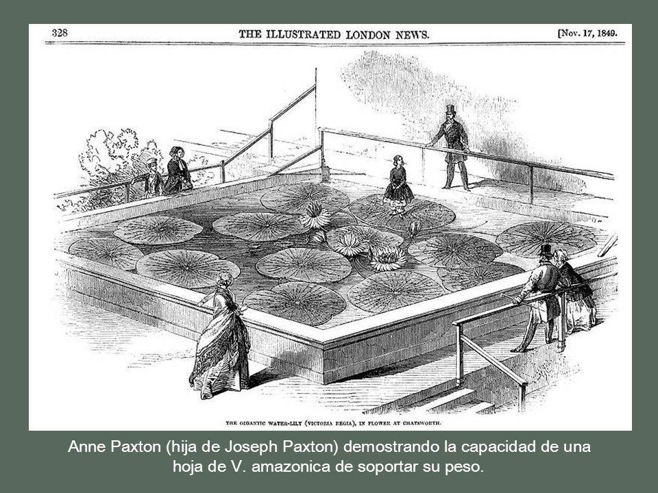 Tas varios intentos por fin, el jardinero del Duque de Devonshire, Joseph Paxton, en noviembre de 1849 fue el primero en conseguirlo gracias a haber h