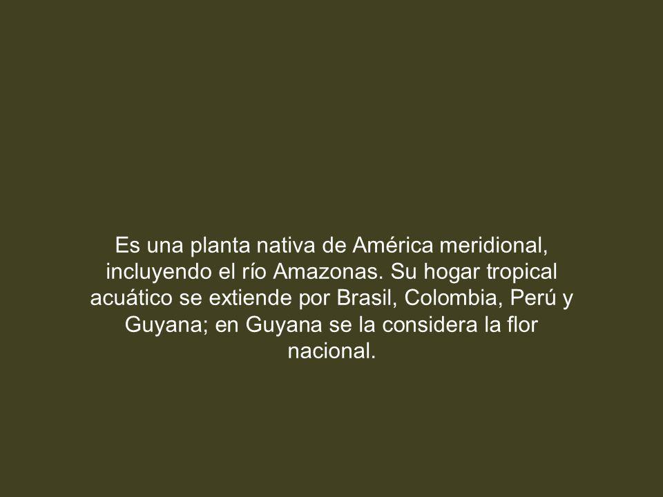 Es una planta nativa de América meridional, incluyendo el río Amazonas.
