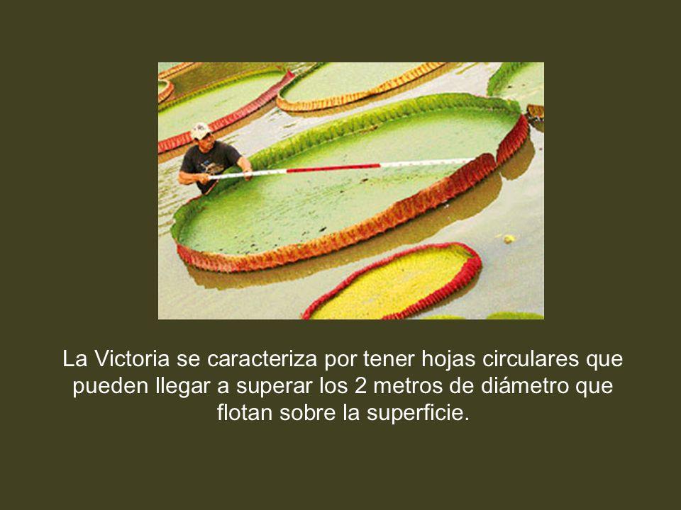 La Victoria se caracteriza por tener hojas circulares que pueden llegar a superar los 2 metros de diámetro que flotan sobre la superficie.