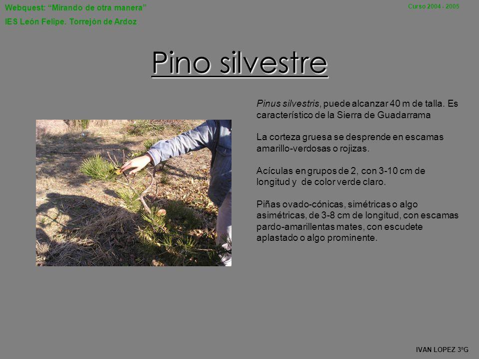 Webquest: Mirando de otra manera IES León Felipe. Torrejón de Ardoz Curso 2004 - 2005 Su nombre común es ciprés, y su nombre científico Cupressus semp
