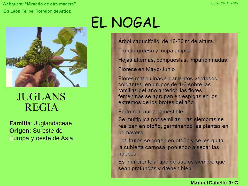 Webquest: Mirando de otra manera IES León Felipe. Torrejón de Ardoz Curso 2004 - 2005 Familia: Leguminosae Nombre común: Mimosa Nombre Científico: Aca