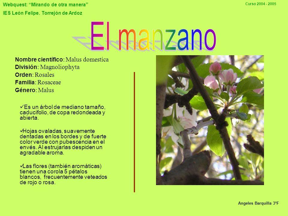 Webquest: Mirando de otra manera IES León Felipe. Torrejón de Ardoz Curso 2004 - 2005 EL NOGAL JUGLANS REGIA Familia: Juglandaceae Origen: Sureste de