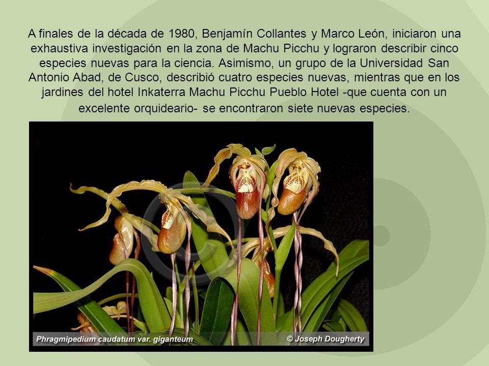 A finales de la década de 1980, Benjamín Collantes y Marco León, iniciaron una exhaustiva investigación en la zona de Machu Picchu y lograron describi