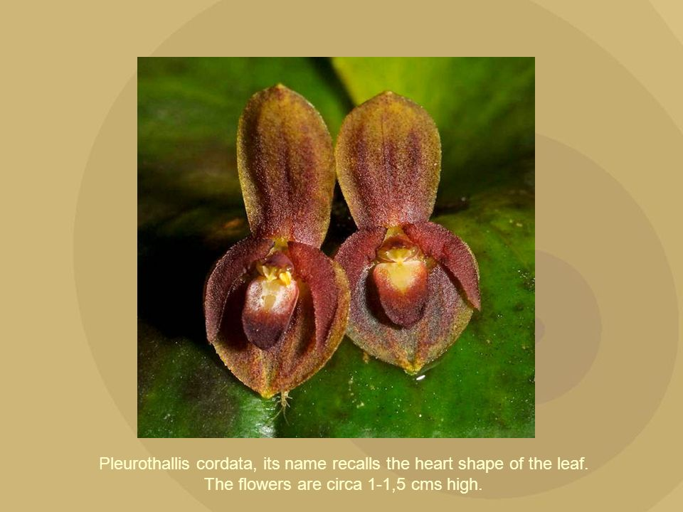 Pleurothallis cordata, its name recalls the heart shape of the leaf. The flowers are circa 1-1,5 cms high.