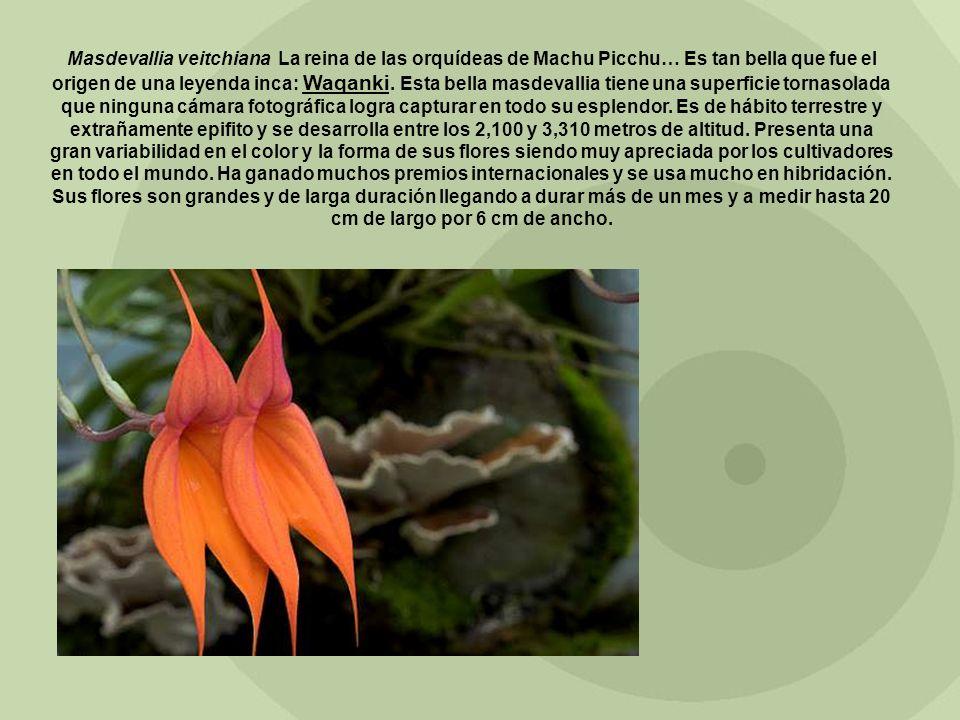 Masdevallia veitchiana La reina de las orquídeas de Machu Picchu… Es tan bella que fue el origen de una leyenda inca: Waqanki. Esta bella masdevallia