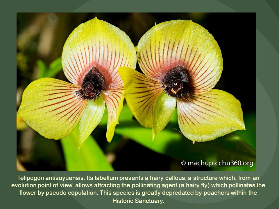 Telipogon antisuyuensis. Its labellum presents a hairy callous, a structure which, from an evolution point of view, allows attracting the pollinating