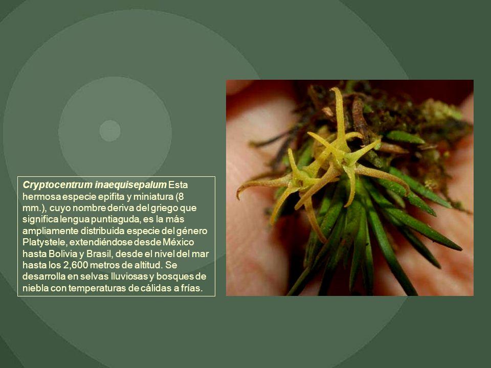 Cryptocentrum inaequisepalum Esta hermosa especie epifita y miniatura (8 mm.), cuyo nombre deriva del griego que significa lengua puntiaguda, es la má