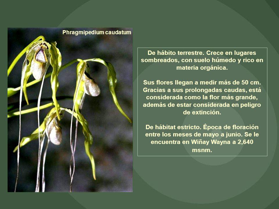 Phragmipedium caudatum De hábito terrestre. Crece en lugares sombreados, con suelo húmedo y rico en materia orgánica. Sus flores llegan a medir más de