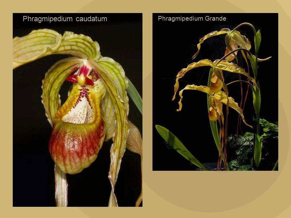 Phragmipedium caudatum Phragmipedium Grande