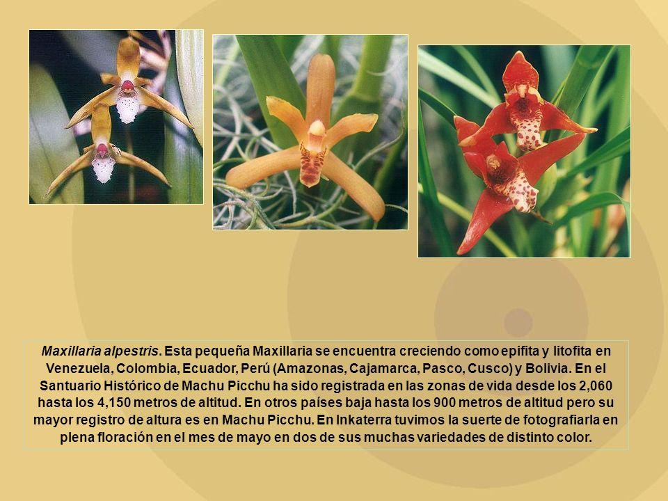 Maxillaria alpestris. Esta pequeña Maxillaria se encuentra creciendo como epifita y litofita en Venezuela, Colombia, Ecuador, Perú (Amazonas, Cajamarc