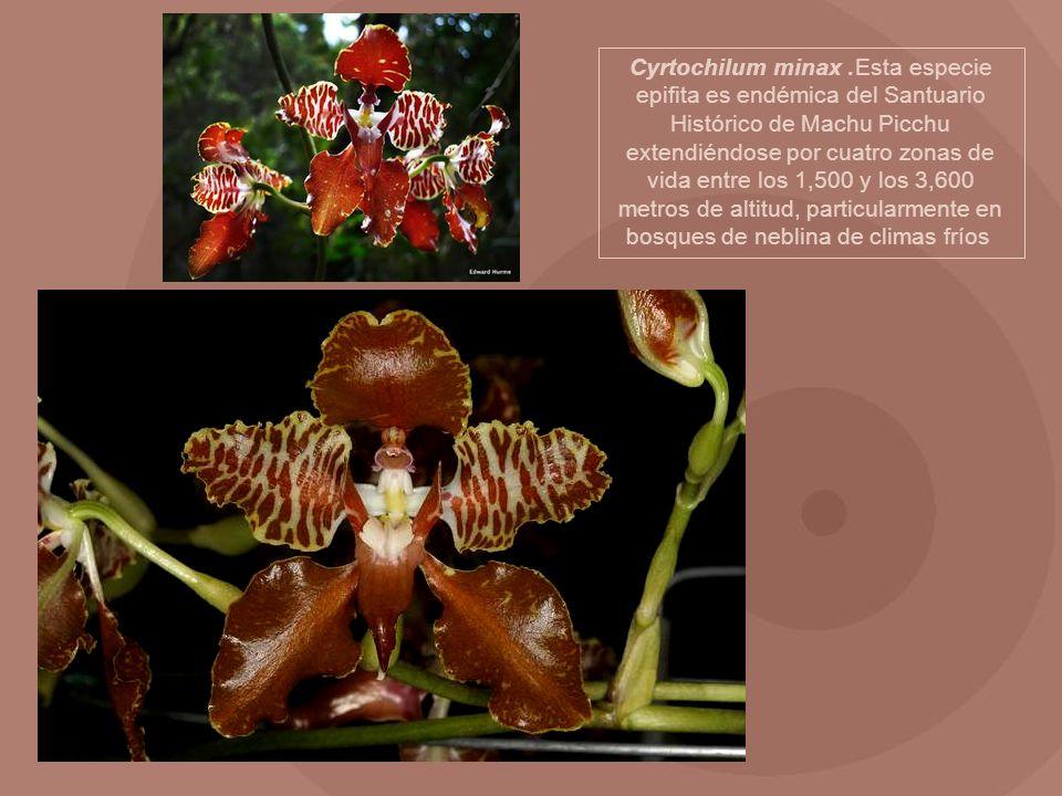 Cyrtochilum minax.