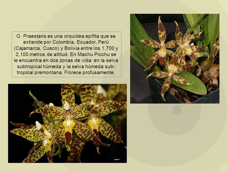 O. Praestans es una orquídea epifita que se extiende por Colombia, Ecuador, Perú (Cajamarca, Cusco) y Bolivia entre los 1,700 y 2,100 metros de altitu
