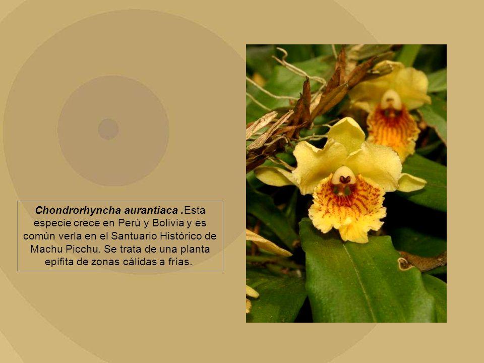 Chondrorhyncha aurantiaca. Esta especie crece en Perú y Bolivia y es común verla en el Santuario Histórico de Machu Picchu. Se trata de una planta epi