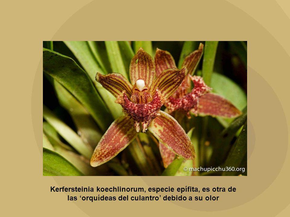 Kerfersteinia koechlinorum, especie epífita, es otra de las orquídeas del culantro debido a su olor