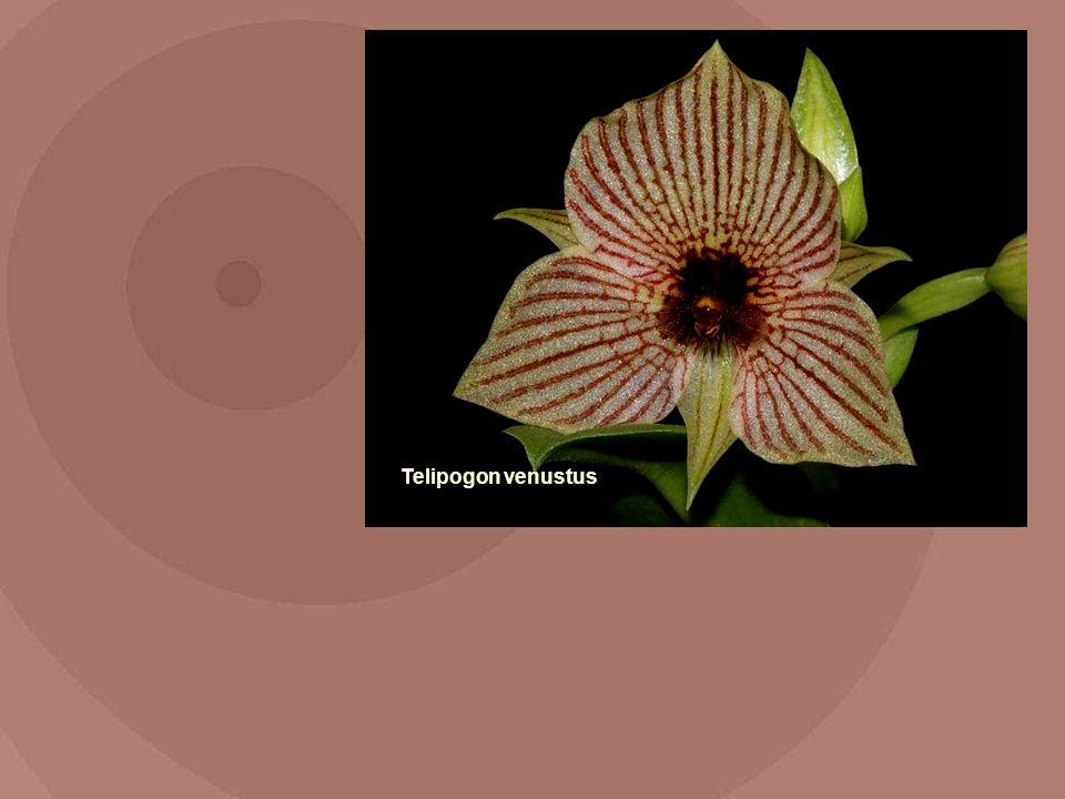 Telipogon venustus