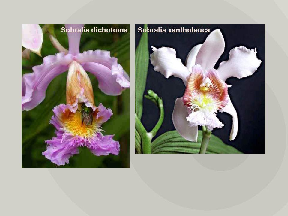 Sobralia dichotomaSobralia xantholeuca