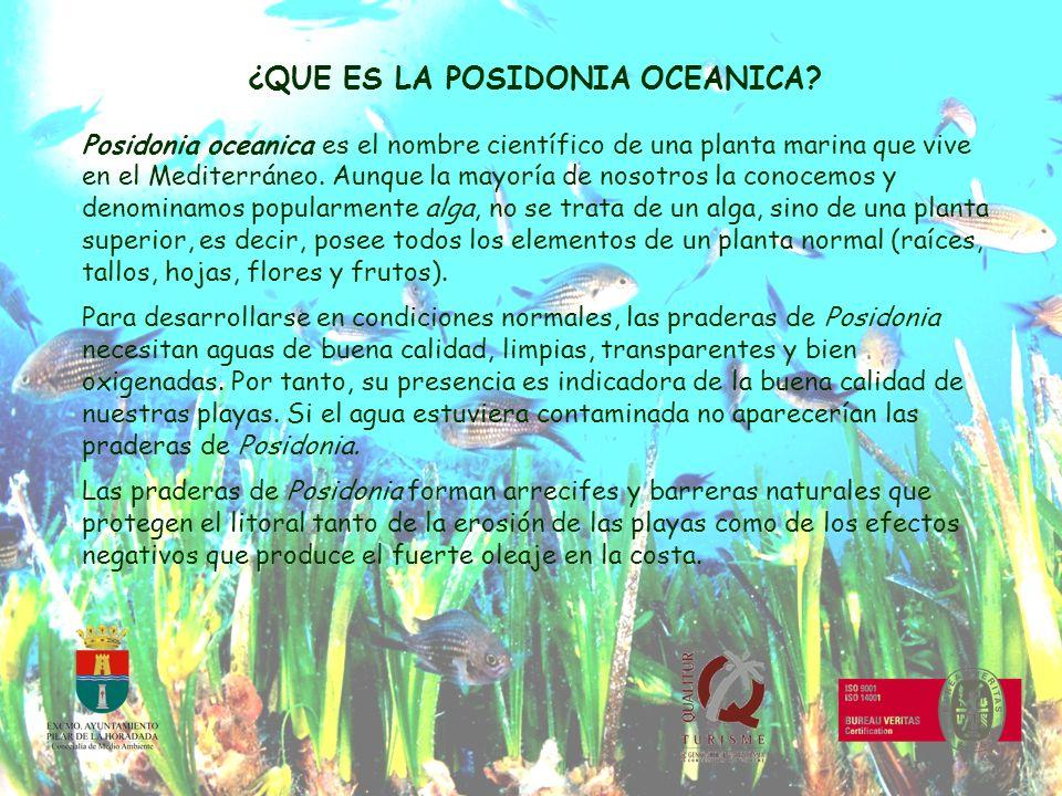 LOS BOSQUES MARINOS La Posidonia oceanica esta presente en profundidades que oscilan entre los 0,5 m y los 30-40 m, formando grandes praderas en los fondos arenosos de la costa, que son consideradas como auténticos bosques marinos.