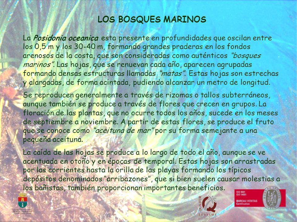 LOS BOSQUES MARINOS La Posidonia oceanica esta presente en profundidades que oscilan entre los 0,5 m y los 30-40 m, formando grandes praderas en los f