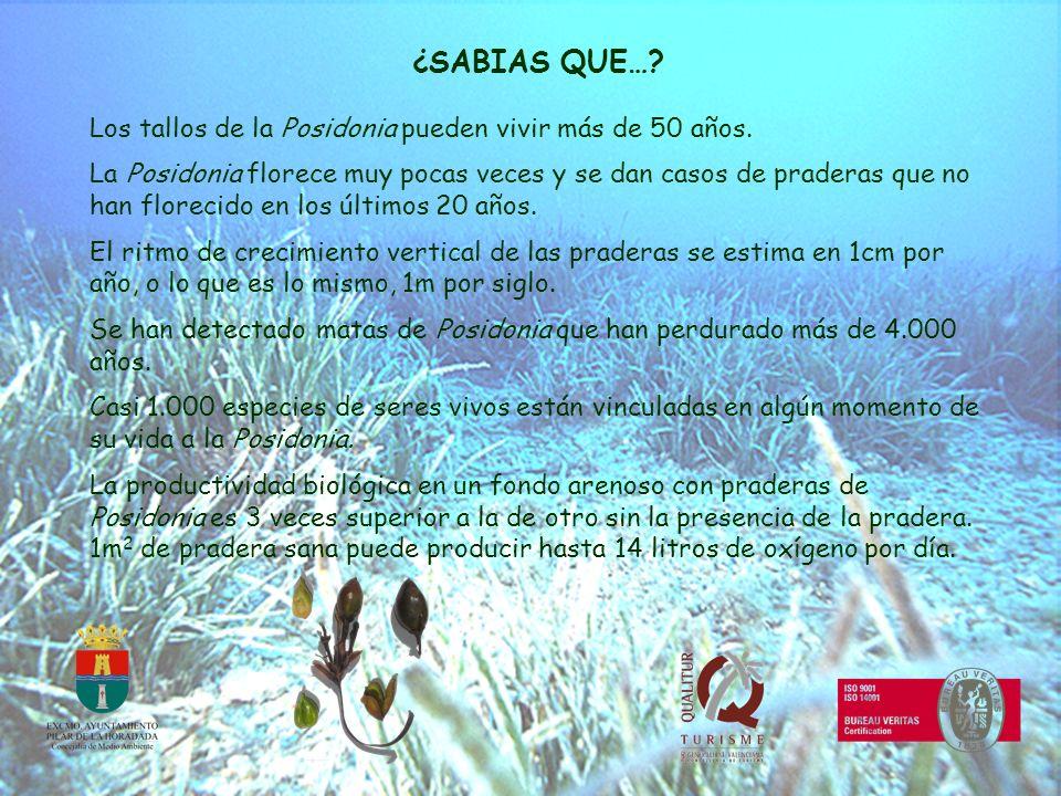 ¿SABIAS QUE…? Los tallos de la Posidonia pueden vivir más de 50 años. La Posidonia florece muy pocas veces y se dan casos de praderas que no han flore