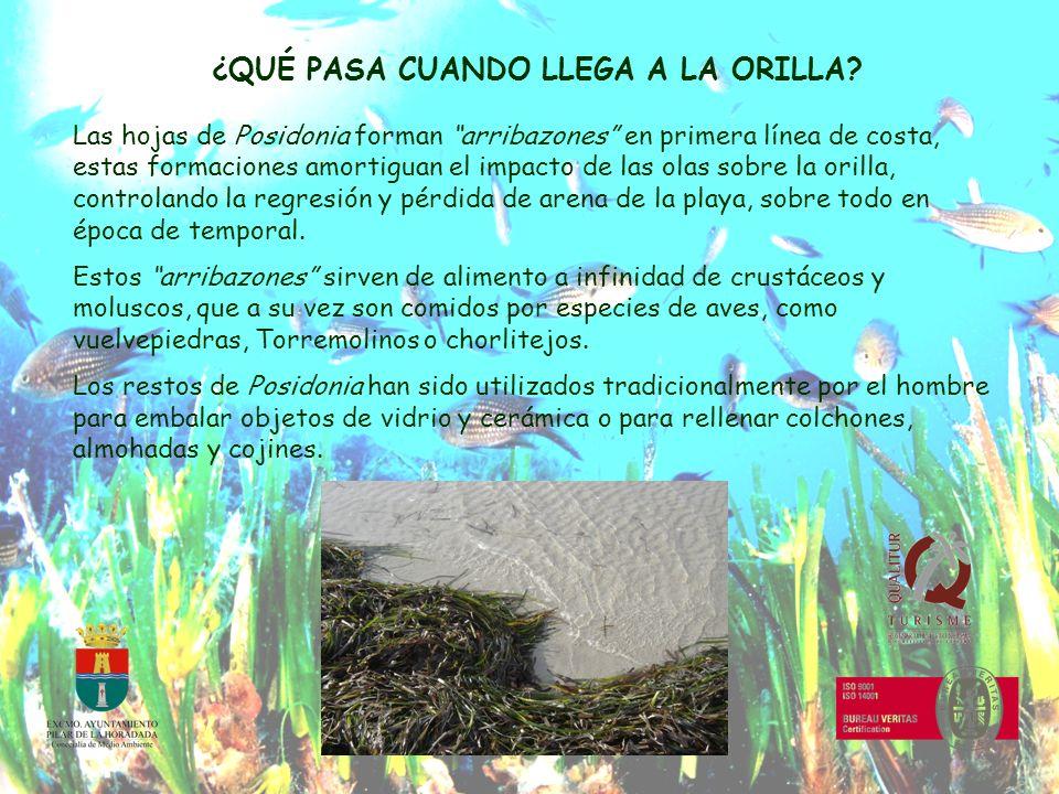 ¿QUÉ PASA CUANDO LLEGA A LA ORILLA? Las hojas de Posidonia forman arribazones en primera línea de costa, estas formaciones amortiguan el impacto de la