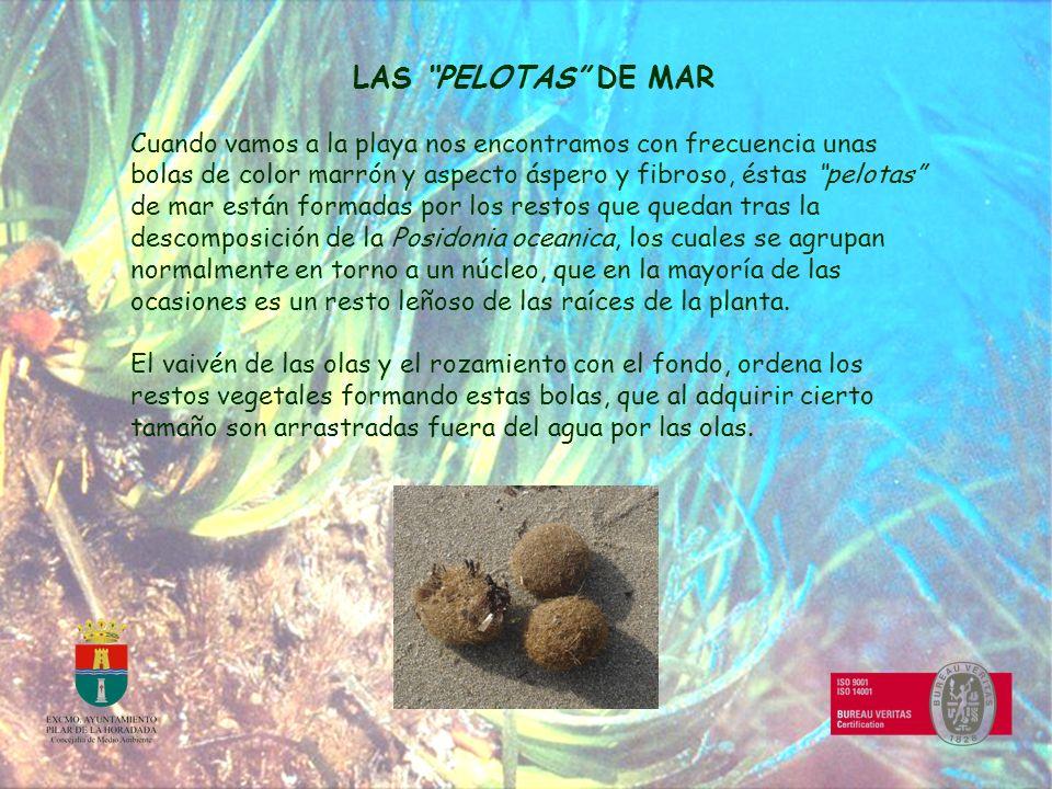LAS PELOTAS DE MAR Cuando vamos a la playa nos encontramos con frecuencia unas bolas de color marrón y aspecto áspero y fibroso, éstas pelotas de mar