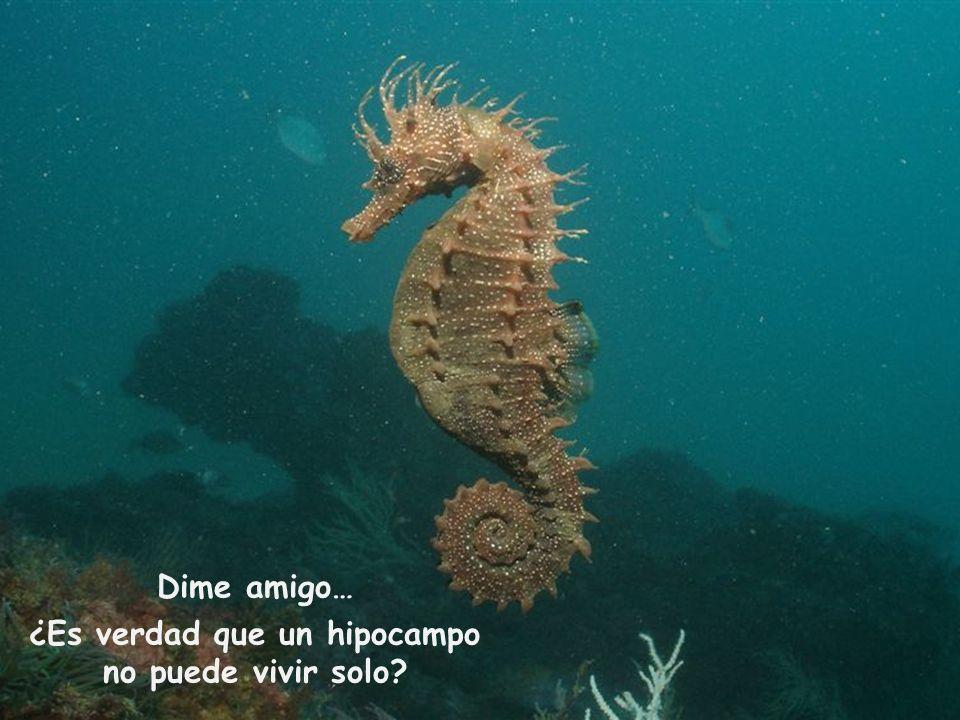 Dime amigo… ¿Es verdad que un hipocampo no puede vivir solo?