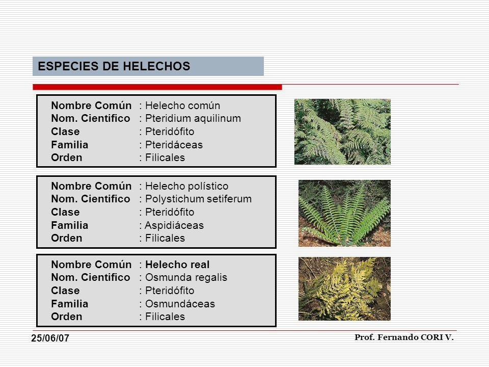 Nombre Común: Helecho común Nom. Cientifico: Pteridium aquilinum Clase: Pteridófito Familia: Pteridáceas Orden: Filicales Nombre Común: Helecho políst