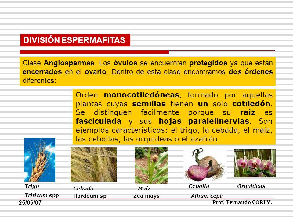 Orden dicotiledóneas, constituido por aquellas plantas cuyas semillas tienen más de un cotiledón.