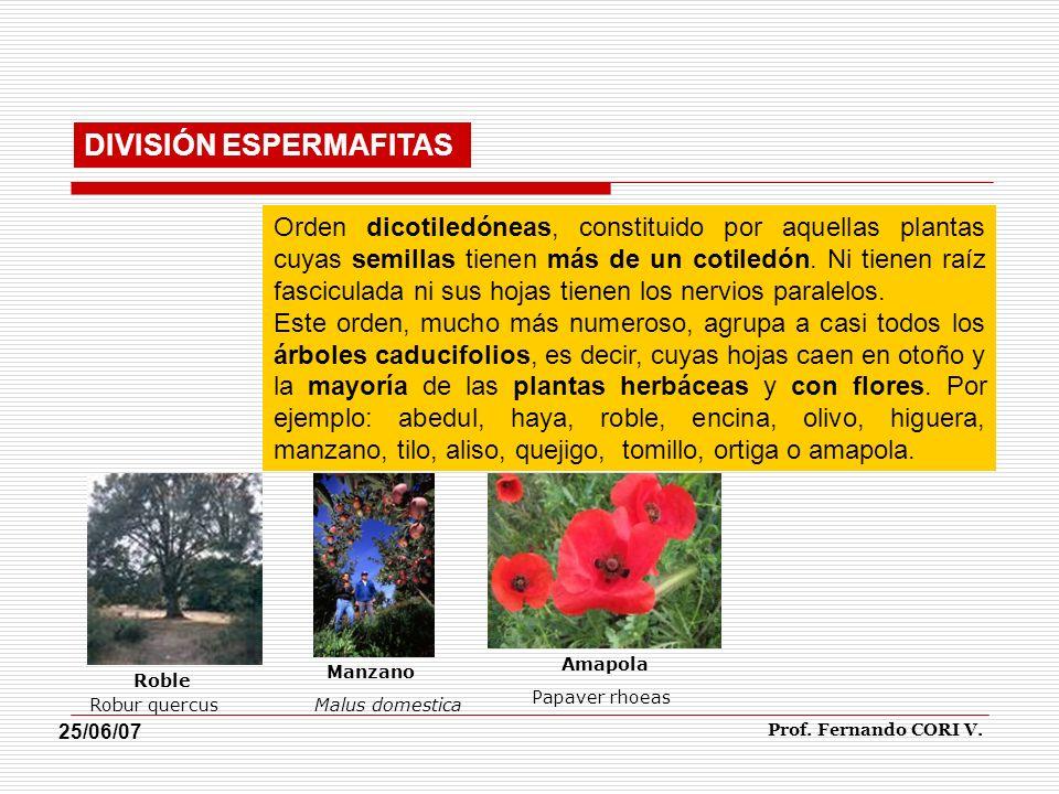Orden dicotiledóneas, constituido por aquellas plantas cuyas semillas tienen más de un cotiledón. Ni tienen raíz fasciculada ni sus hojas tienen los n