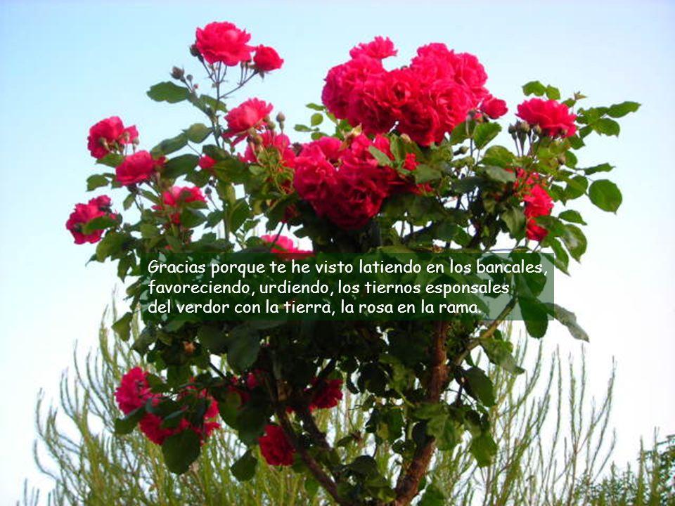 Gracias porque te he visto latiendo en los bancales, favoreciendo, urdiendo, los tiernos esponsales del verdor con la tierra, la rosa en la rama.