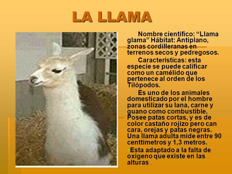 LA LLAMA LA LLAMA Nombre científico: Llama glama Hábitat: Antiplano, zonas cordilleranas en terrenos secos y pedregosos. Características: esta especie