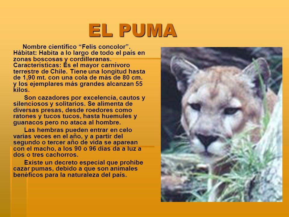 EL PUMA EL PUMA Nombre científico Felis concolor. Hábitat: Habita a lo largo de todo el país en zonas boscosas y cordilleranas. Características: Es el