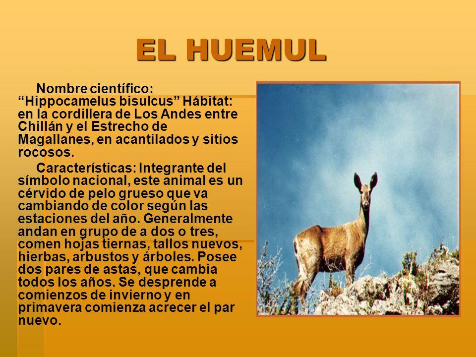 EL HUEMUL EL HUEMUL Nombre científico: Hippocamelus bisulcus Hábitat: en la cordillera de Los Andes entre Chillán y el Estrecho de Magallanes, en acantilados y sitios rocosos.