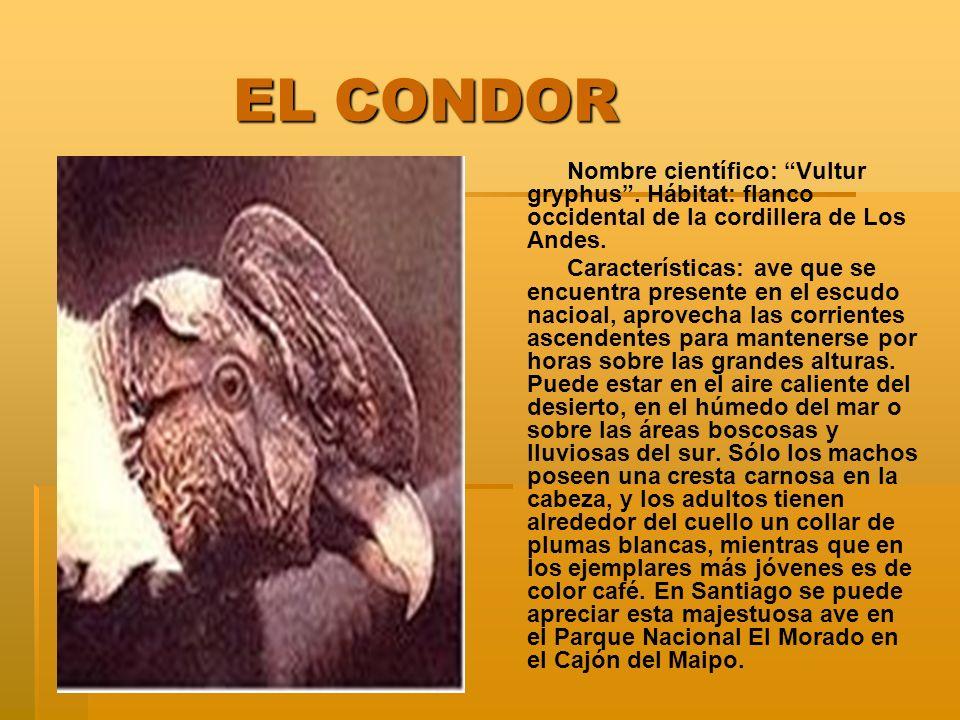 EL CONDOR EL CONDOR Nombre científico: Vultur gryphus. Hábitat: flanco occidental de la cordillera de Los Andes. Características: ave que se encuentra