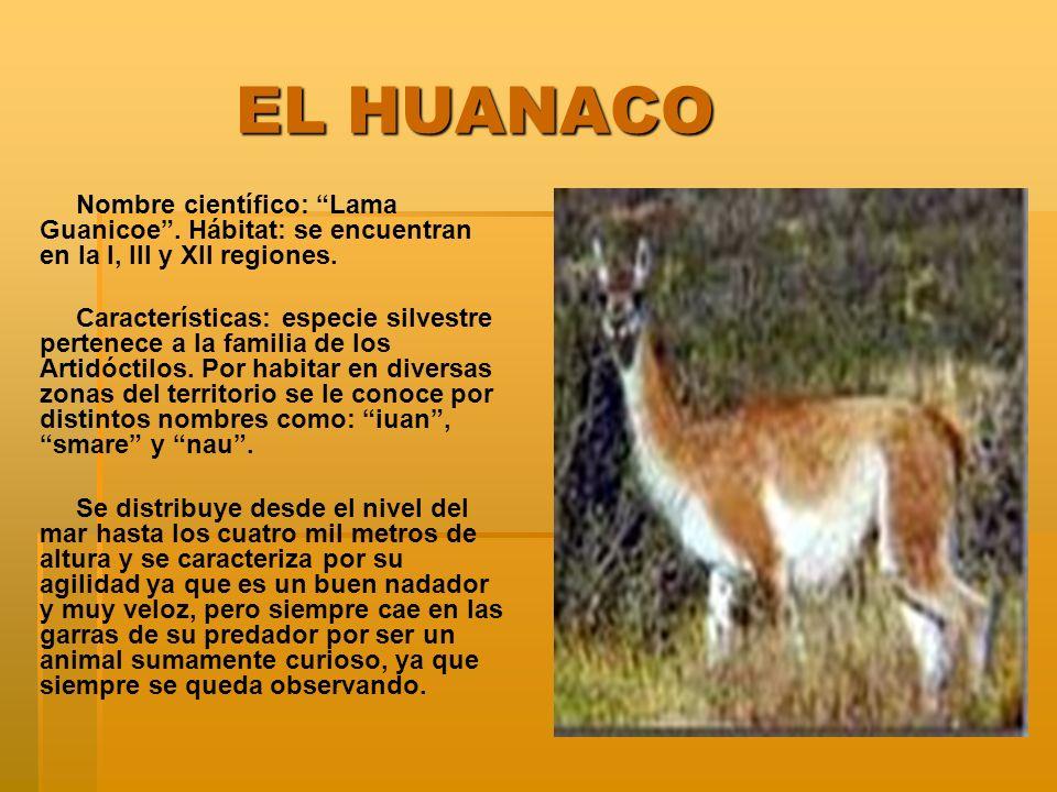 EL HUANACO EL HUANACO Nombre científico: Lama Guanicoe. Hábitat: se encuentran en la I, III y XII regiones. Características: especie silvestre pertene