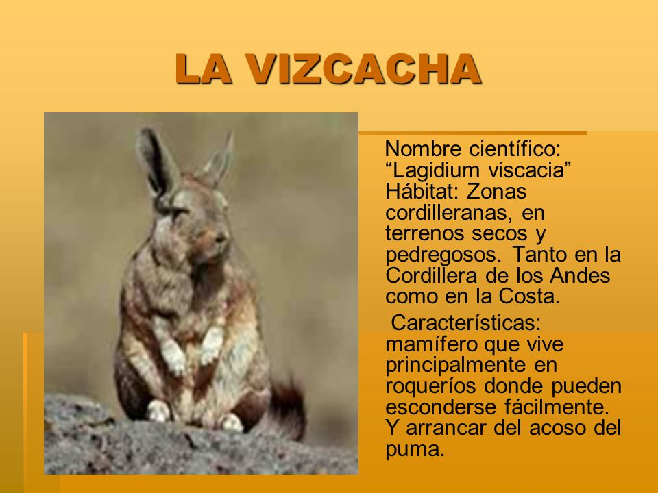 LA VIZCACHA LA VIZCACHA Nombre científico: Lagidium viscacia Hábitat: Zonas cordilleranas, en terrenos secos y pedregosos.
