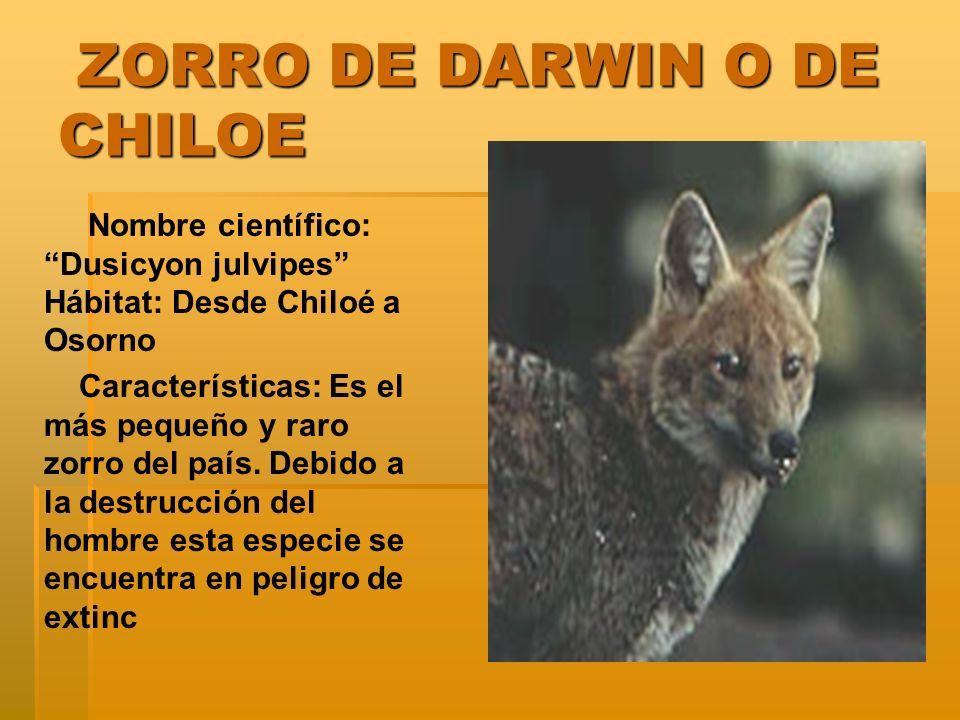 ZORRO DE DARWIN O DE CHILOE ZORRO DE DARWIN O DE CHILOE Nombre científico: Dusicyon julvipes Hábitat: Desde Chiloé a Osorno Características: Es el más pequeño y raro zorro del país.