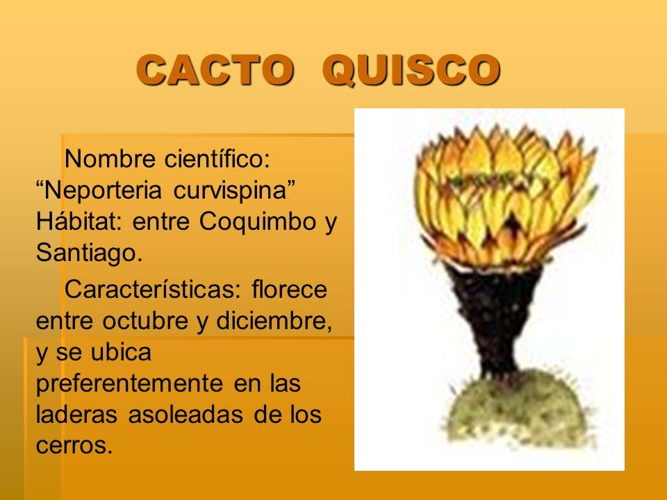 CACTO QUISCO CACTO QUISCO Nombre científico: Neporteria curvispina Hábitat: entre Coquimbo y Santiago. Características: florece entre octubre y diciem