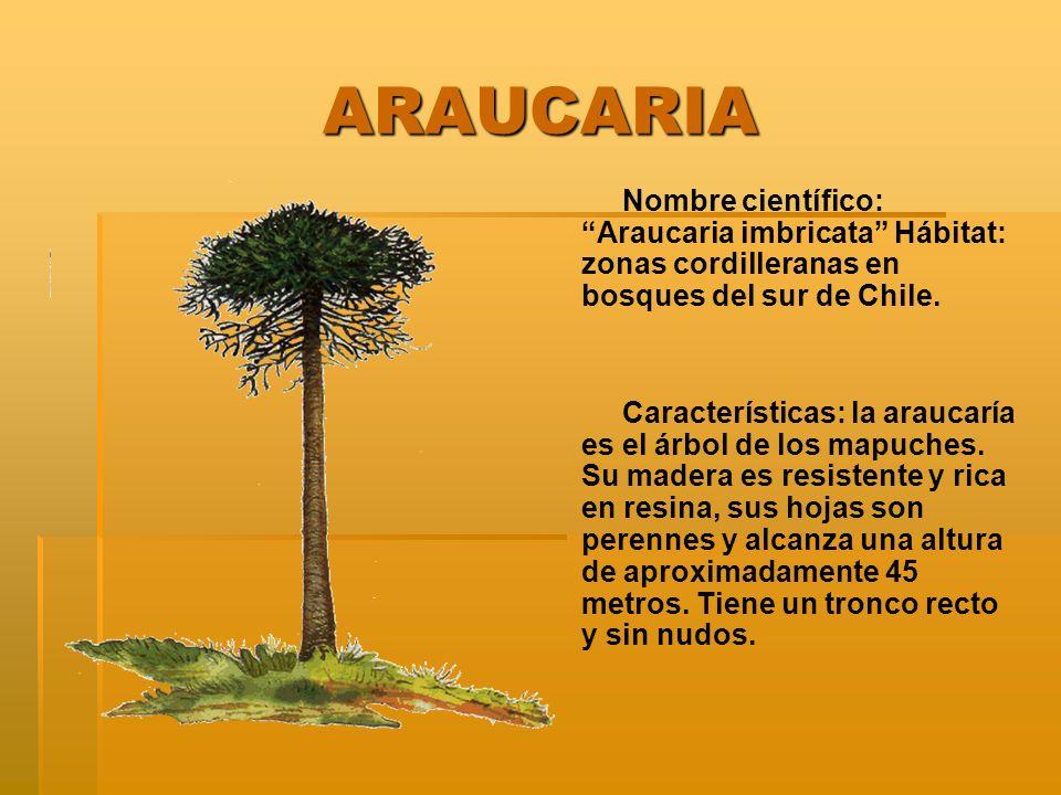 ARAUCARIA ARAUCARIA Nombre científico: Araucaria imbricata Hábitat: zonas cordilleranas en bosques del sur de Chile. Características: la araucaría es