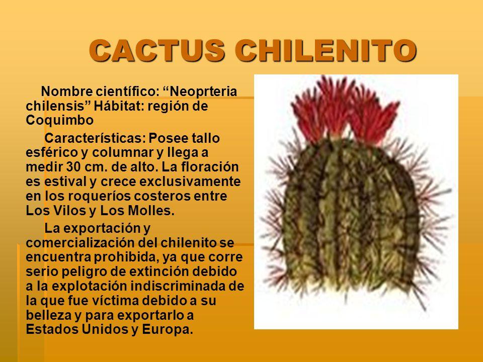 CACTUS CHILENITO CACTUS CHILENITO Nombre científico: Neoprteria chilensis Hábitat: región de Coquimbo Características: Posee tallo esférico y columnar