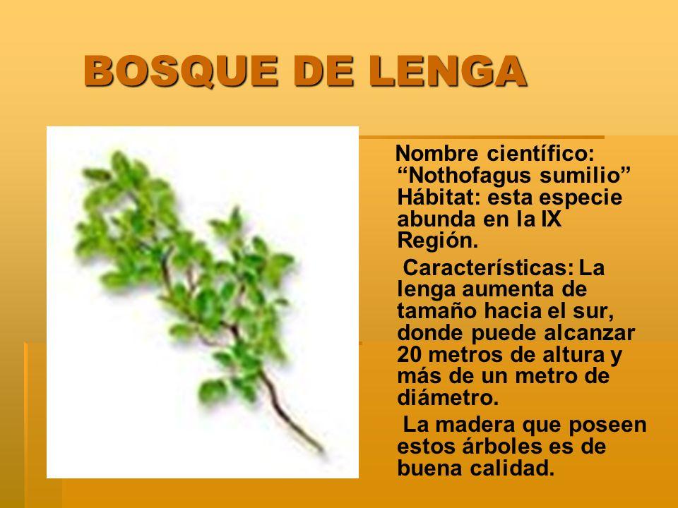 BOSQUE DE LENGA BOSQUE DE LENGA Nombre científico: Nothofagus sumilio Hábitat: esta especie abunda en la IX Región.