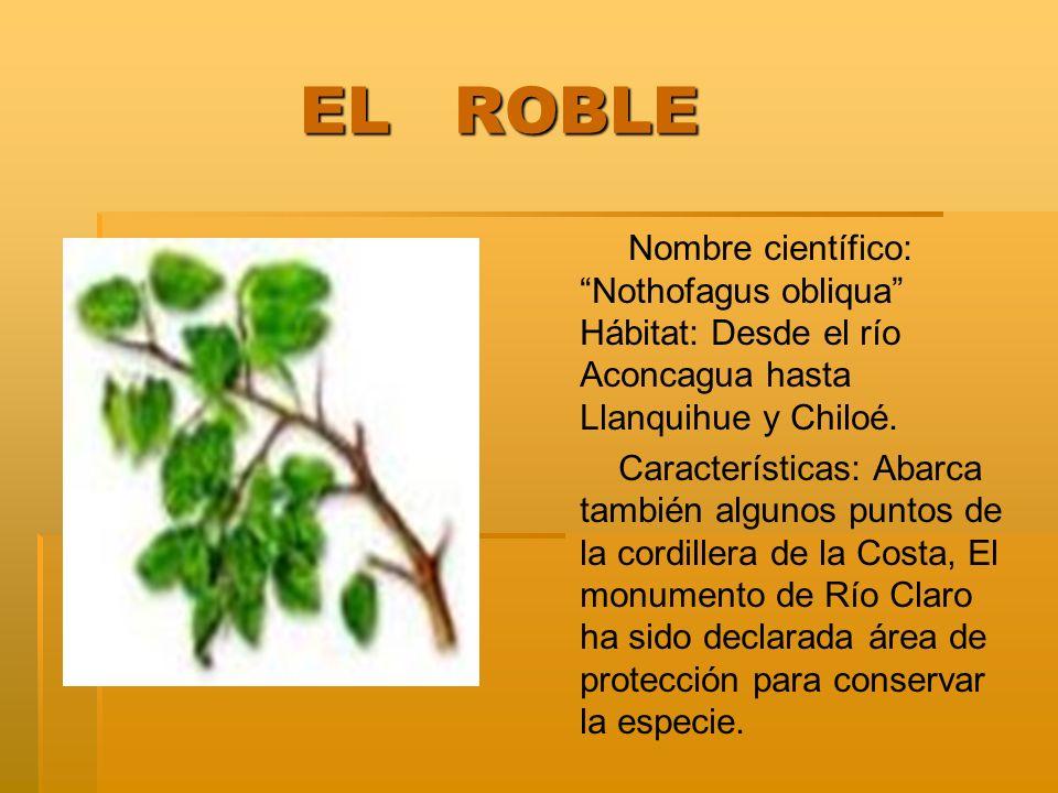 EL ROBLE EL ROBLE Nombre científico: Nothofagus obliqua Hábitat: Desde el río Aconcagua hasta Llanquihue y Chiloé. Características: Abarca también alg