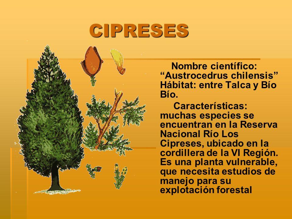 CIPRESES CIPRESES Nombre científico: Austrocedrus chilensis Hábitat: entre Talca y Bío Bío. Características: muchas especies se encuentran en la Reser