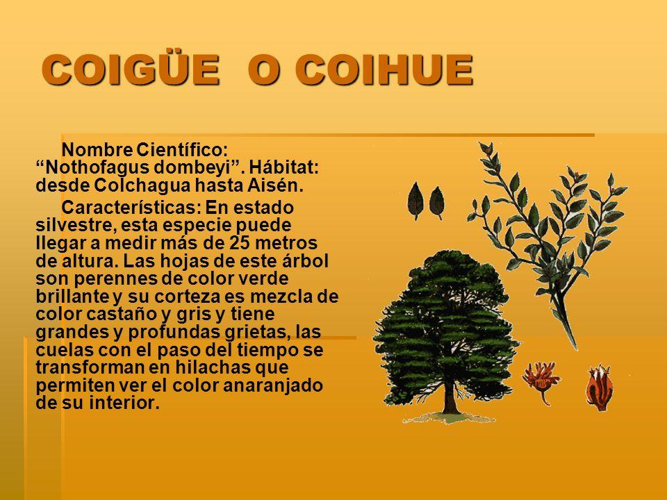 COIGÜE O COIHUE Nombre Científico: Nothofagus dombeyi. Hábitat: desde Colchagua hasta Aisén. Características: En estado silvestre, esta especie puede