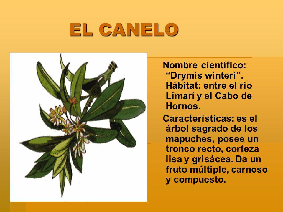 EL CANELO EL CANELO Nombre científico: Drymis winteri. Hábitat: entre el río Limarí y el Cabo de Hornos. Características: es el árbol sagrado de los m
