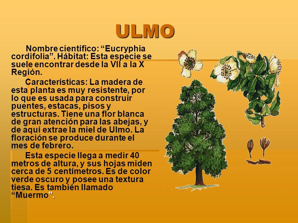 ULMO ULMO Nombre científico: Eucryphia cordifolia.
