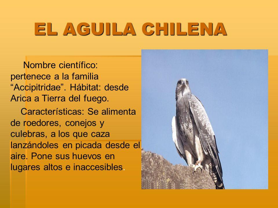 EL AGUILA CHILENA EL AGUILA CHILENA Nombre científico: pertenece a la familia Accipitridae. Hábitat: desde Arica a Tierra del fuego. Características: